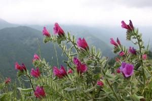 خواص چای گل گاوزبان و سنبل طیب برای زنان باردار