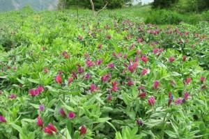 فواید مضرات گل گاوزبان برای زنان حامله