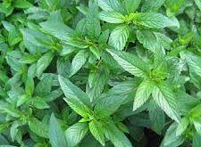 peppermint-attribute-خواص-گیاه-نعناع-طب-سنتی